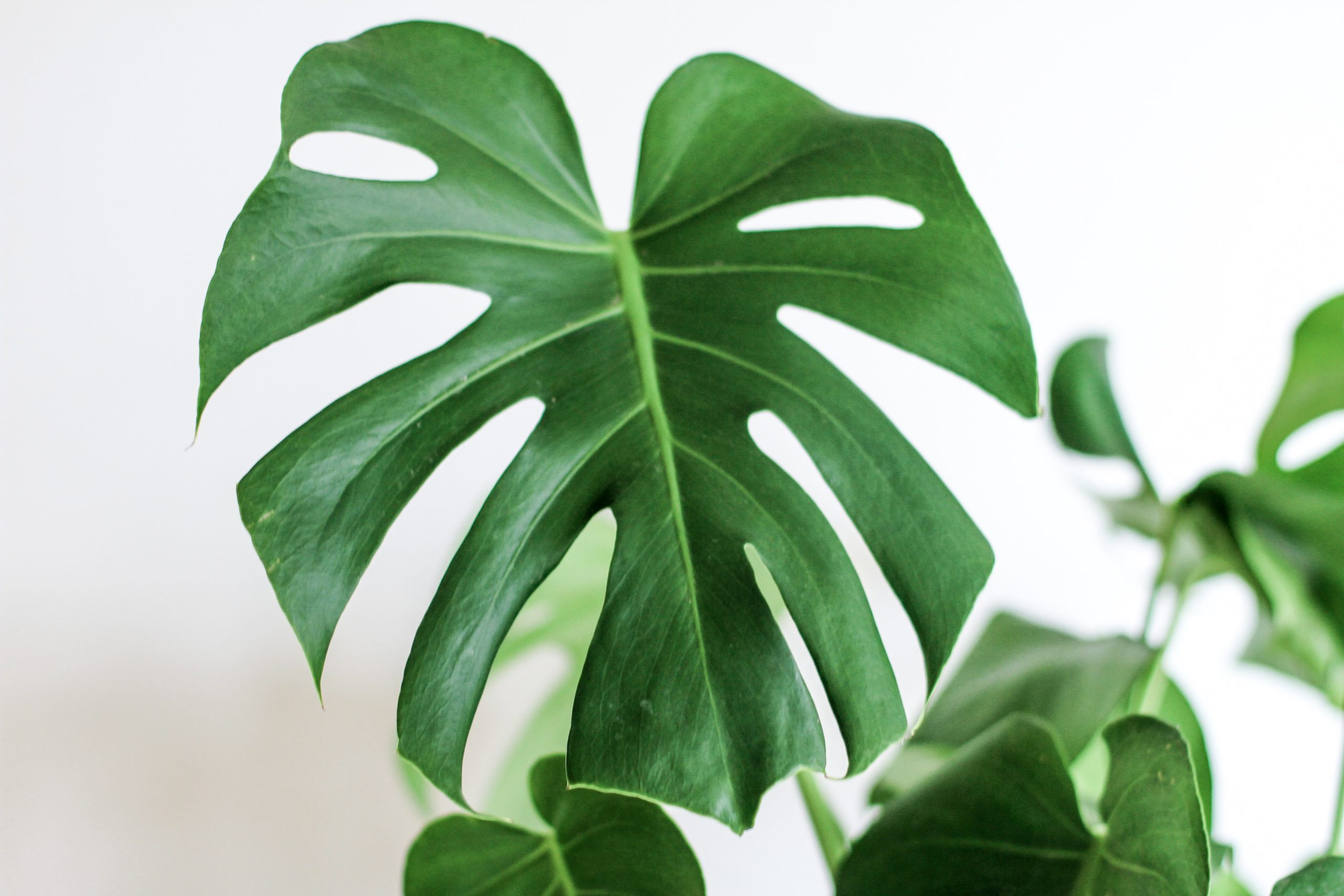 Photo of a monstera plant leaf to represent at-home sustainability